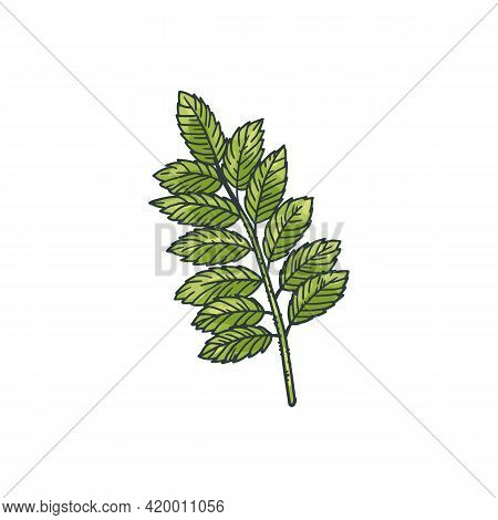 Chickpea Plant Green Branch With Leaves, Engraving Vector Illustration Isolated.