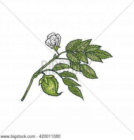 Chickpea Branch With Flower And Seeds Engraving Vector Illustration Isolated.