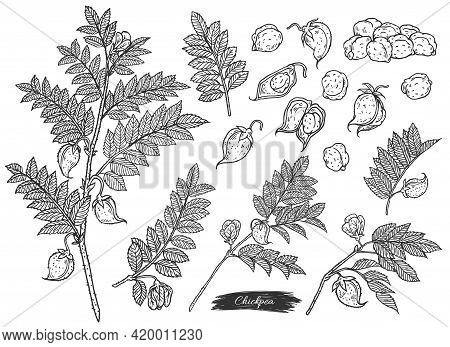 Set Of Chickpea Plant Branches And Seeds Engraving Vector Illustration Isolated.