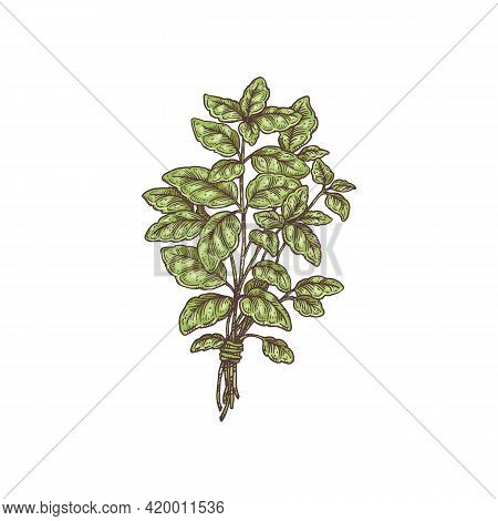 Branch Plant Basil With Green Leaves, Organic Natural Aromatic Food .