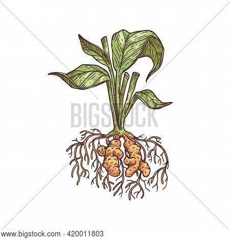 Whole Turmeric Or Curcuma Plant Engraving Vector Illustration Isolated.