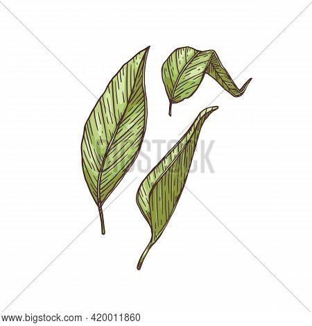 Green Leaves Of Turmeric Or Curcuma Engraving Vector Illustration Isolated.