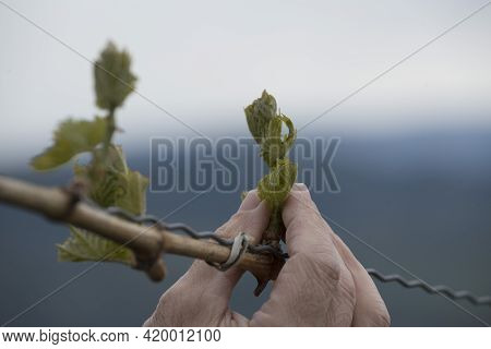 Vineyard With Young Vines With Green Leaves