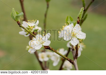 Close Up Of Blackthorn (prunus Spinosa) Blossom Covered In Rain Droplets