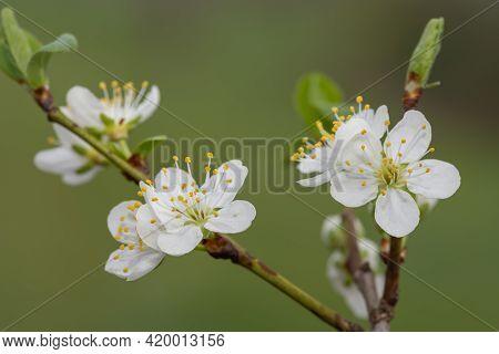 Close Up Of Blackthorn (prunus Spinosa) Blossom