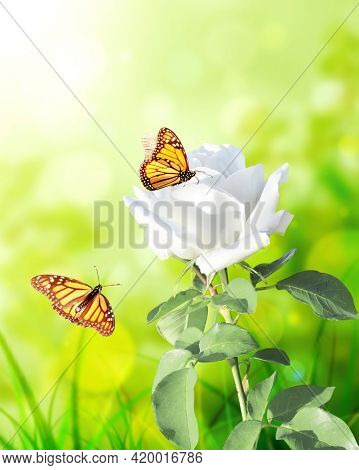 Branch of rose with white flower. Vertical banner with beautiful rose flower and two butterflies on blurred sunny background. Copy space for text. Mock up template