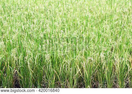 Ripe rice field, Asia. Closeup of green paddy rice field. Close up of organic rice fields