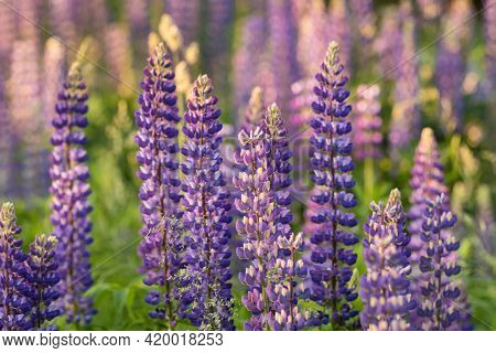 Blooming purple Lupine flowers in summer garden close-up. Lupinus polyphyllus flowers