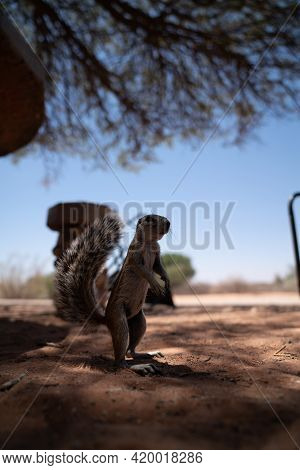 A Curious Squirrel Looking Around In The Kalahari