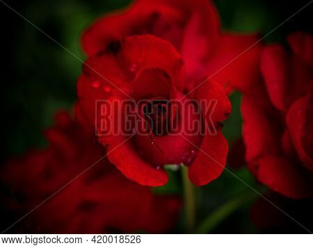 Closeup Detail Macro View Of Blooming Blossoming Red Rose Flower Plant With Waterdrops In Vaduz, Lie
