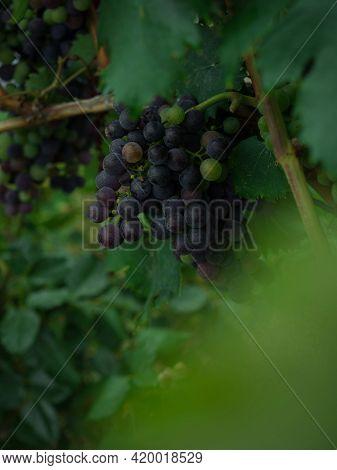 Closeup Detail View Of Purple Blue Black Wine Grapes Vine Fruit On Farm Plantation Winery Vineyard I