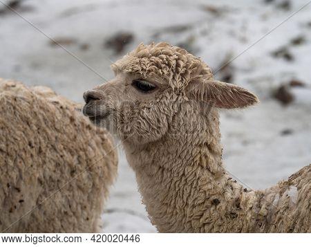 Closeup Headshot Portrait Of A Llama Lama Glama Camelid Mammal Wildlife Animal In Winter Snow At Vin
