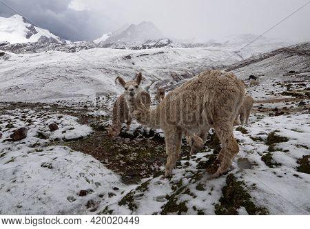 Llama Lama Glama In Winter Wonderland Snowy Mountain Landscape At Vinicunca Rainbow Mountain Cusco P