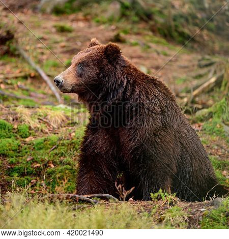 Brown Bears In The Wild, A Large Mammal After Hibernation, A Predator In The Wild Forest And Wildlif