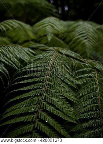 Closeup Detail Macro Of Lush Green Vibrant Dicksonia Squarrosa Fern Plant In Wet Humid Tropical Fore