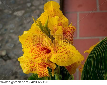 Yellow Flower Commonly Known As Indian Shot, African Arrowroot, Edible Canna, Purple Or Sierra Leone