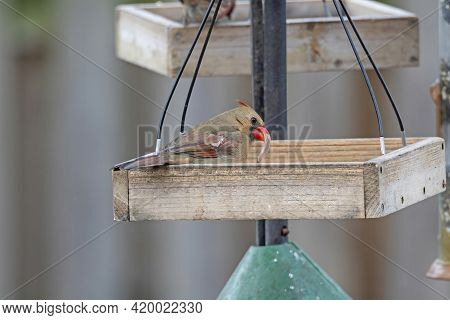 Female Cardinal With An Unusual Beak Growth In A Backyard Feeder In Elk Grove Village