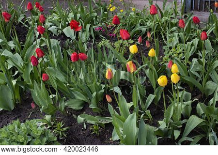Red Tulips On A Flower Bed Close Up
