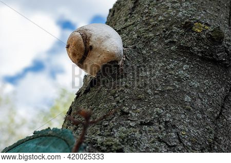 Tinder Fungus On The Tree. Diseases And Rot Of Trees. Environmental Protection Concept