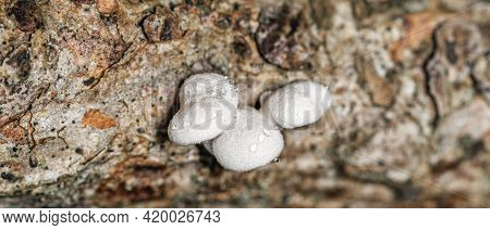 Very Small White Wood Mushroom Tinder Fungus, Covered With Dewdrops, Supermacro