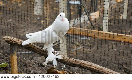 English Pouter Decorative White Pigeon With Feather On Its Legs Sitting On A Branch In A Cage. Beaut
