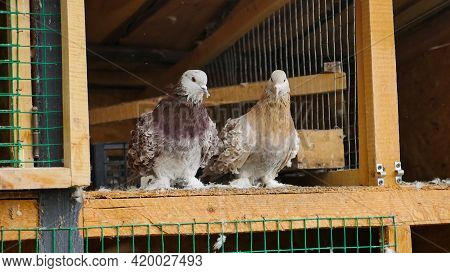 Couple Brown Curly Pigeon Sitting In Arranged Space From Wood, In A Cage With An Open Gate. Special