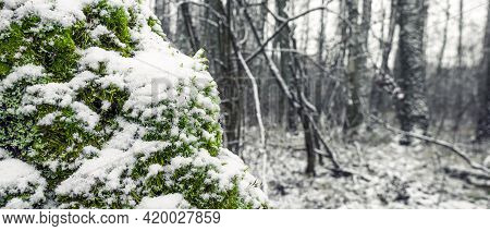 Bright Green Moss Covered With Snow In The Forest, Close-up