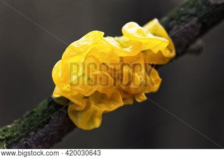 Mushroom Tremella Mesenterica Or Yellow Brain, Golden Jelly Fungus, , Witches Butter Growing On A Tr