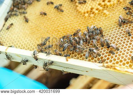 Bees In A Bee Hive With Honey Combs Working. Tribal Queen Bee On Frame With Sealed Brood. Queen Bee