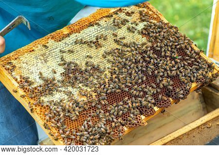 Bees On The Honeycomb, Background. Honey Cell With Bees. Apiculture. Apiary. Wooden Beehive And Bees