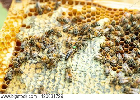 Tribal Queen Bee On Frame With Sealed Brood. Queen Bee With Green Label With Number On Back. Virgin