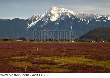 Cranberry Field And Mount Cheam Fraser Valley. A Cranberry Field In The Fraser Valley With Mount Che