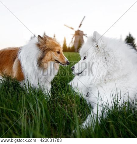 Two Dogs Are Sitting On The Lawn. Mill In The Background. Sheltie And Samoyed - Bjelker's Friendship