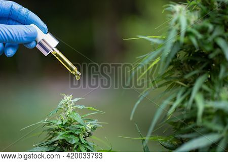 Cbd Droplet Dosing A Biological And Ecological Hemp Plant Herbal Pharmaceutical Cbd Oil From A Jar.