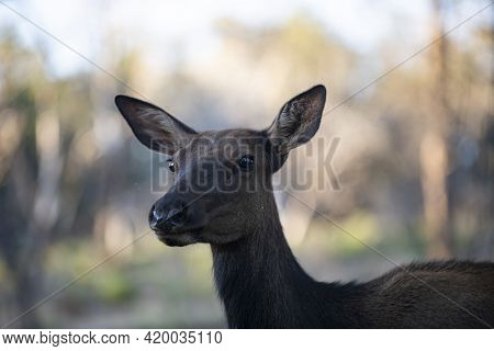 White-tailed Deer Fawn. Wild Animals Concept. Bambi. Young Roe Deer, Capreolus. Beautiful Wildlife B