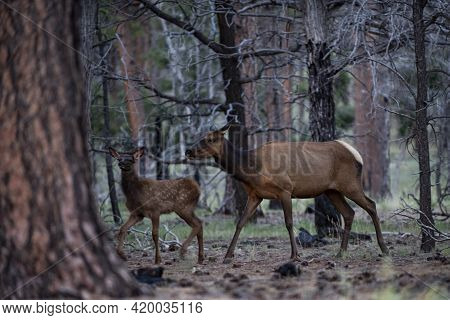 Nature Animals Concept. White-tailed Roe Bambi, Fawn Young Capreolus. Beautiful Wildlife Buck.