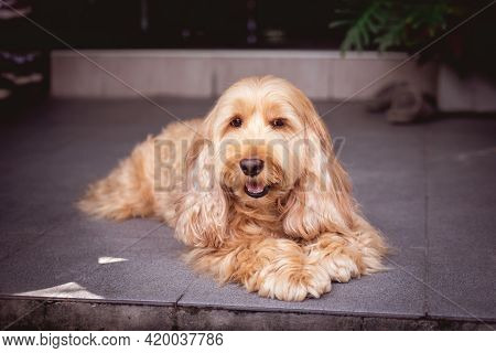 Puppy Cockapoo Dog (mixed Breed With Cute Cocker Spaniel + Poodle) Pet Health Care Animal Concept, O