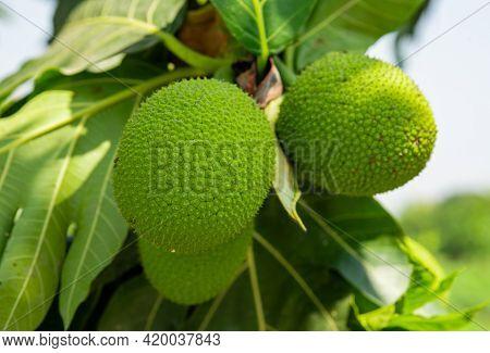 Beautiful Fresh Breadfruit ( Artocarpus Altilis ) Hanking With Green Leaves In Garden Outdoor. Plant