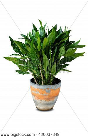 Beautiful Fresh Chinese Evergreen ( Aglaonema Sp. ) Growing In Ceramic Or Stucco Flower Pot For Home