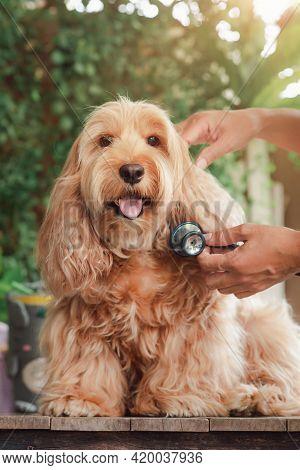 Veterinarian Doctor. Asian Man Vet Examining Puppy Cockapoo Dog ( Mixed Breeding Cocker Spaniel + Po
