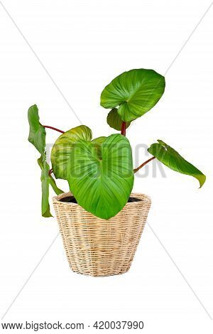 King Of Heart Or Homalomena Rubescens In Pot Isolated On White Background With Clipping Path. Beauti