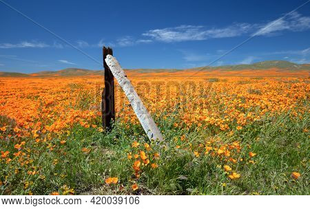 Wooden Post In Field Of California Golden Poppies During Springtime Superbloom In The High Desert Of
