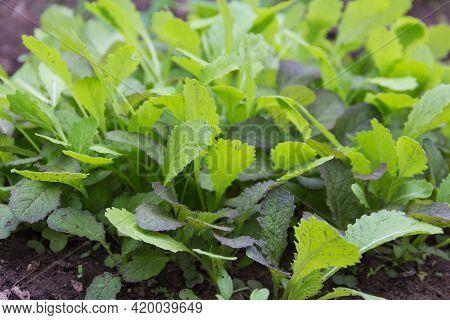 Young Mustard Plants (brassica Alba) In The Organic Garden In Autumn