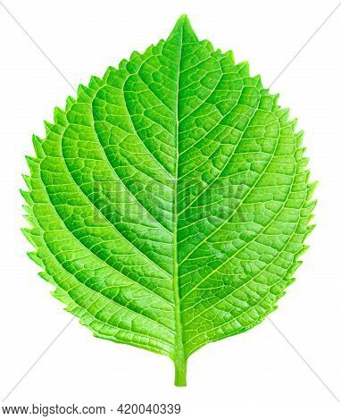 Beautiful Green Leaf Isolated On White Background. Perfect Spring Leaf For Your Design, Advertising,