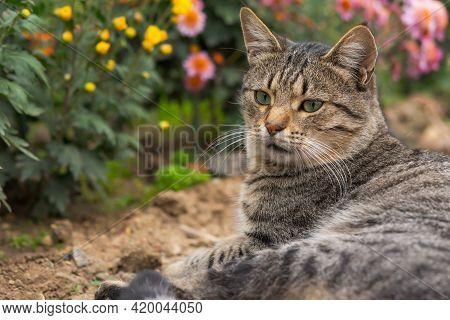 A Tabby Cat Lies On The Ground Among Flowers. Grey Cat Among The Chrysanthemums In The Garden. Rest