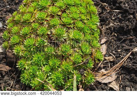 Green Leaves Of A Perennial Plant In Spring. The Saxifrage Has No Flowers Yet. Garden Decoration Con