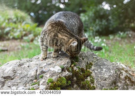 A Homeless Gray Tabby Cat Eats Food On A Rock In The Park. Help And Feed Wild Animals. The Concept O
