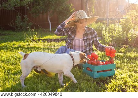 Dog And Hardworking Woman Gardener In Straw Hat With Her Harvest Box Of Tomatoes On Sunny Summer Day
