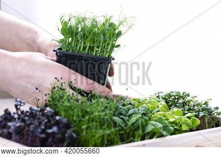 Mixed Herbs In Grow Trays In A White Wooden Box. Microgreens From Onions, Basil And Radishes, Female