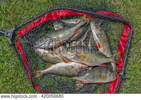 Perch Fishing. Lot Large Perch Fish In Fishing Landing Net On Green Grass.